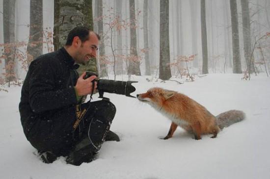 カメラマンのレンズを覗くキツネ